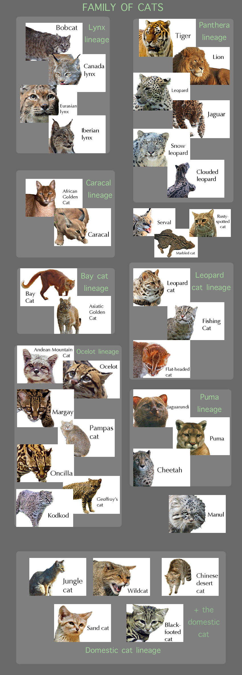 Wild Cat Facts For Kids