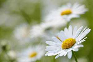 Wallpaper Closeup Camomiles Blurred background White